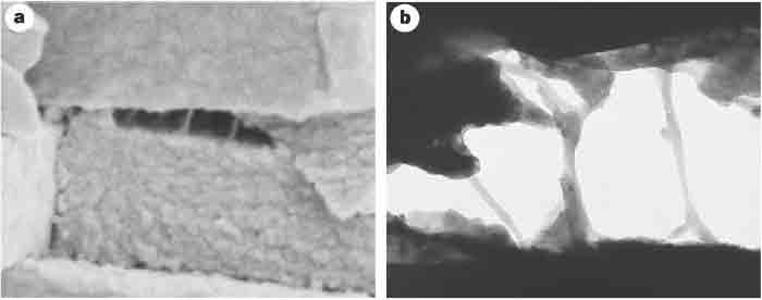 Scanning and transmission electron micrographs of freshly cleaved abalone shell, showing glue-like or adhesive ligaments between nacre tablets. a) Scanning electron micrograph of a freshly cleaved abalone shell showing adhesive ligaments formed between consecutive abalone nacre tablets on the exertion of mechanical stress. The tablets are ~400nm thick. b) Transmission electron micrograph of another cleaved abalone shell, showing the adhesive ligaments between the nacre tablets. The space between the tablets is ~600 nm. It can be seen that the ligaments of glue can lengthen to many times the original spacing between the tablets, which is of the order of 30 nm. From Smith et al. Nature 399: 761-763, 1999.